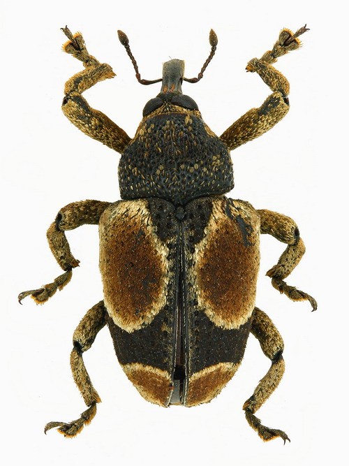 Cylindrothecus orbifer