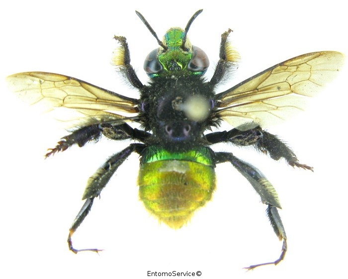 Euglossa intersecta