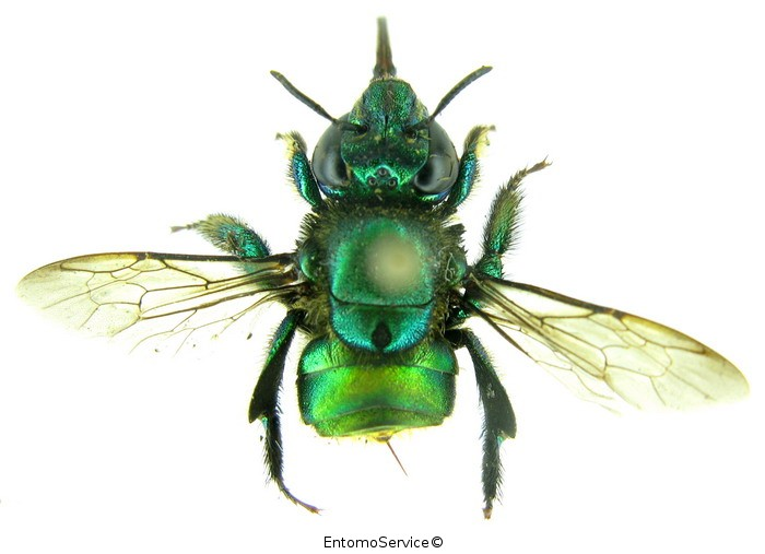 Euglossa piliventris