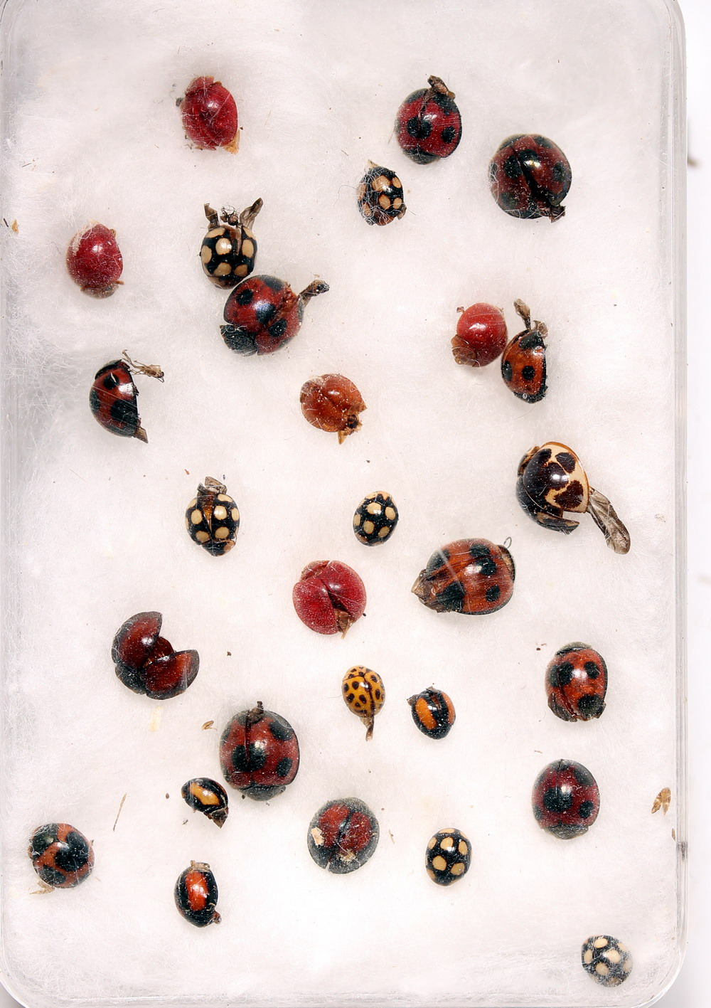 lot Coccinellidae