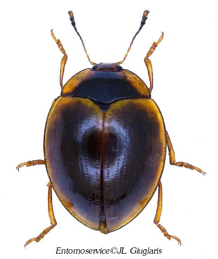 Iphiclus (Megaprotus)cinctellus