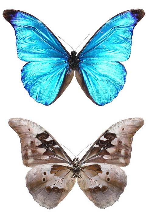 Morpho rhetenor A-
