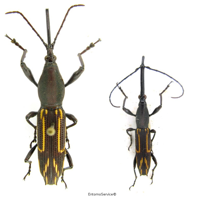 Nemorhinus myrmecophagus (couple)