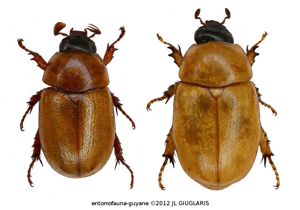 Cyclocephala testacea (couple)