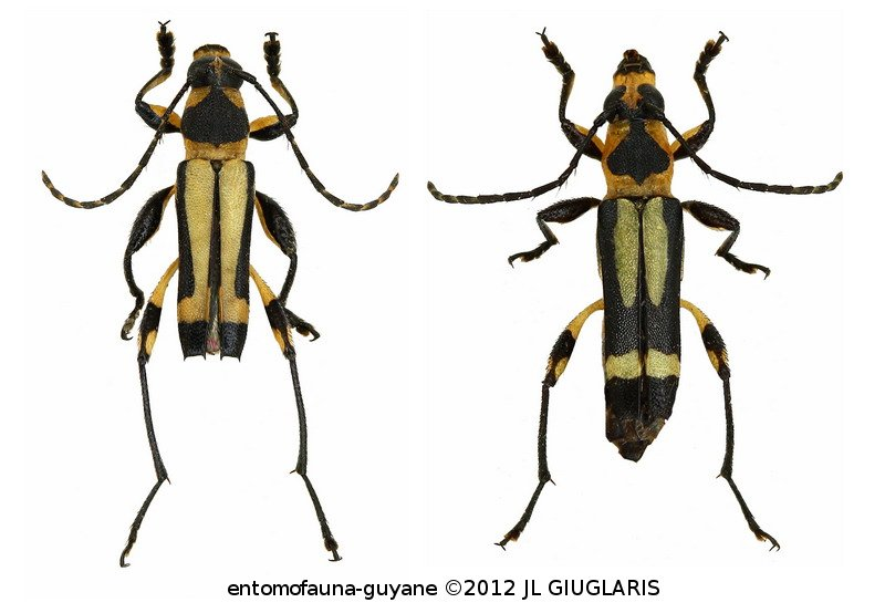 Agaone notabilis (couple)