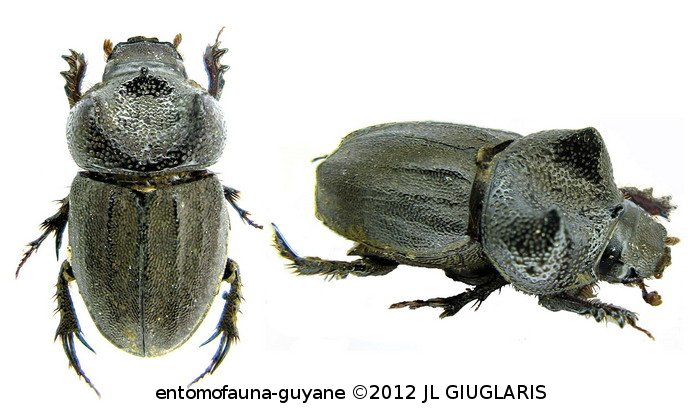 Aegidium geayi (couple)