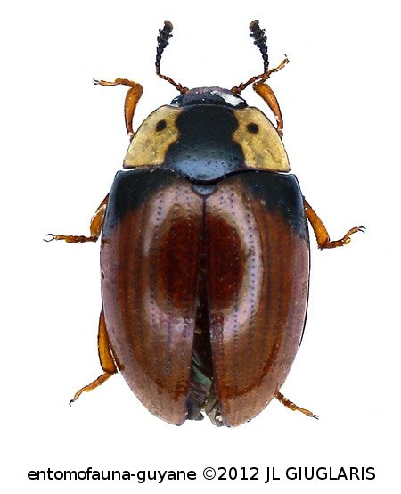 Apolybas triangularis