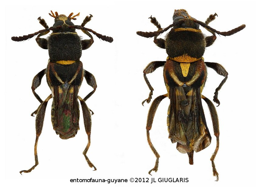 Tomopterus aurantiacosignatus (couple)