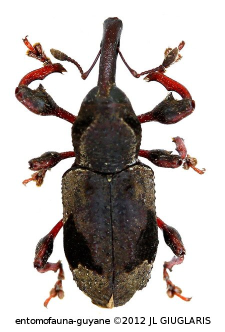 Byzes grammicus