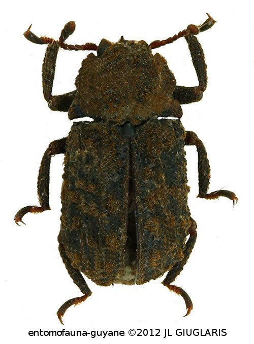 Bolitophagini sp1
