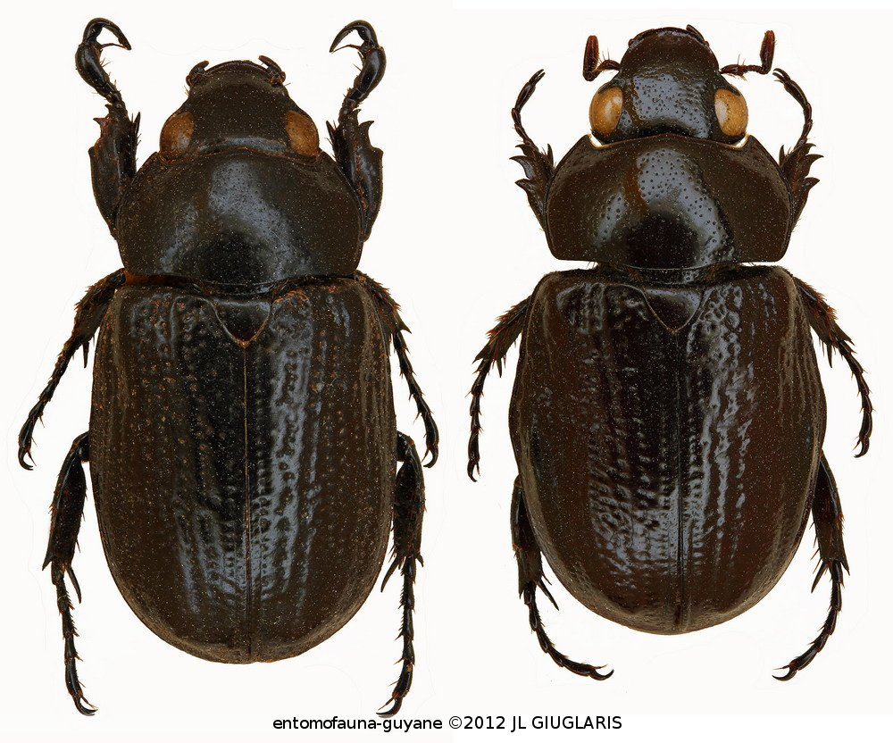 Cyclocephala boucheri (pair)