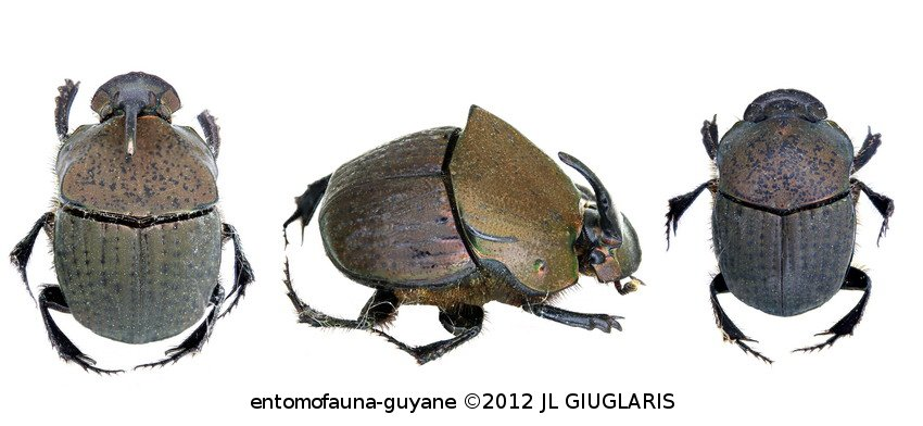 Phanaeus (Notiophanaeus) chalcomelas (couple)