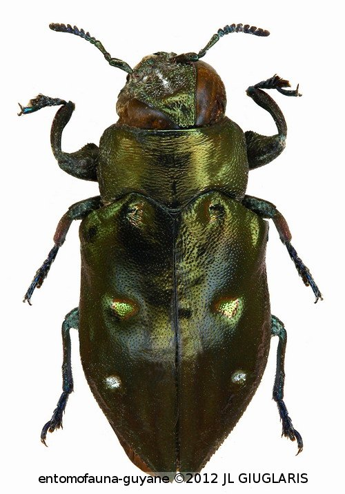 Chrysobothris cribrifrons