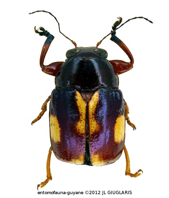 Chrysomelidae sp1