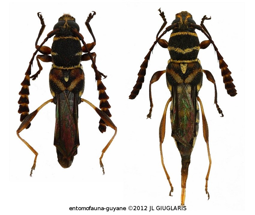 Tomopterus clavicornis (couple)