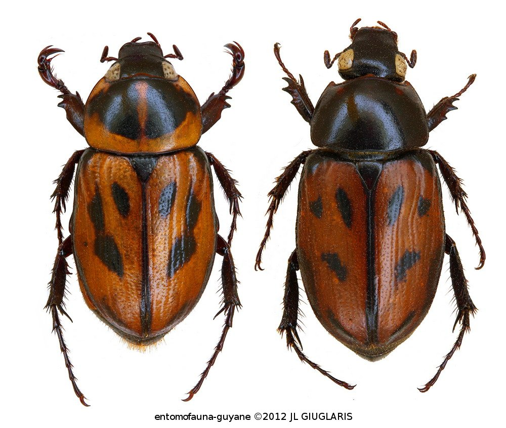 Cyclocephala marginalis (couple)