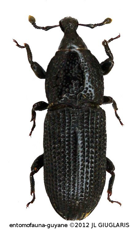 Cossonus bulbirostris