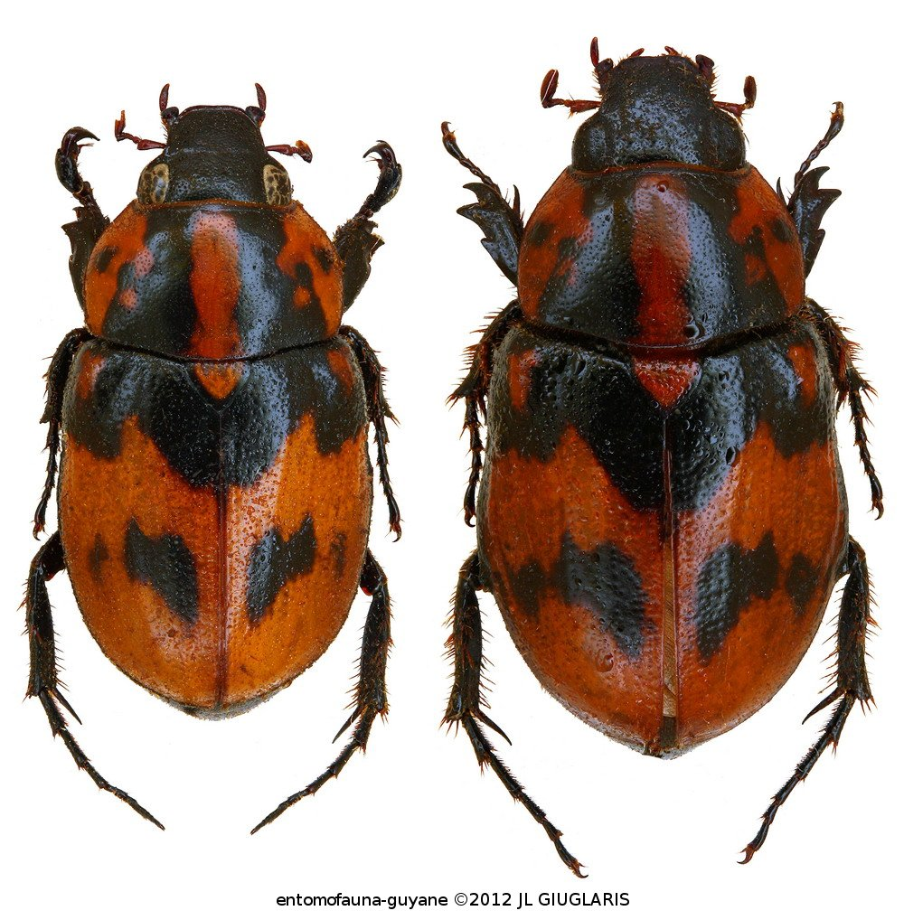 Cyclocephala picipes (couple)