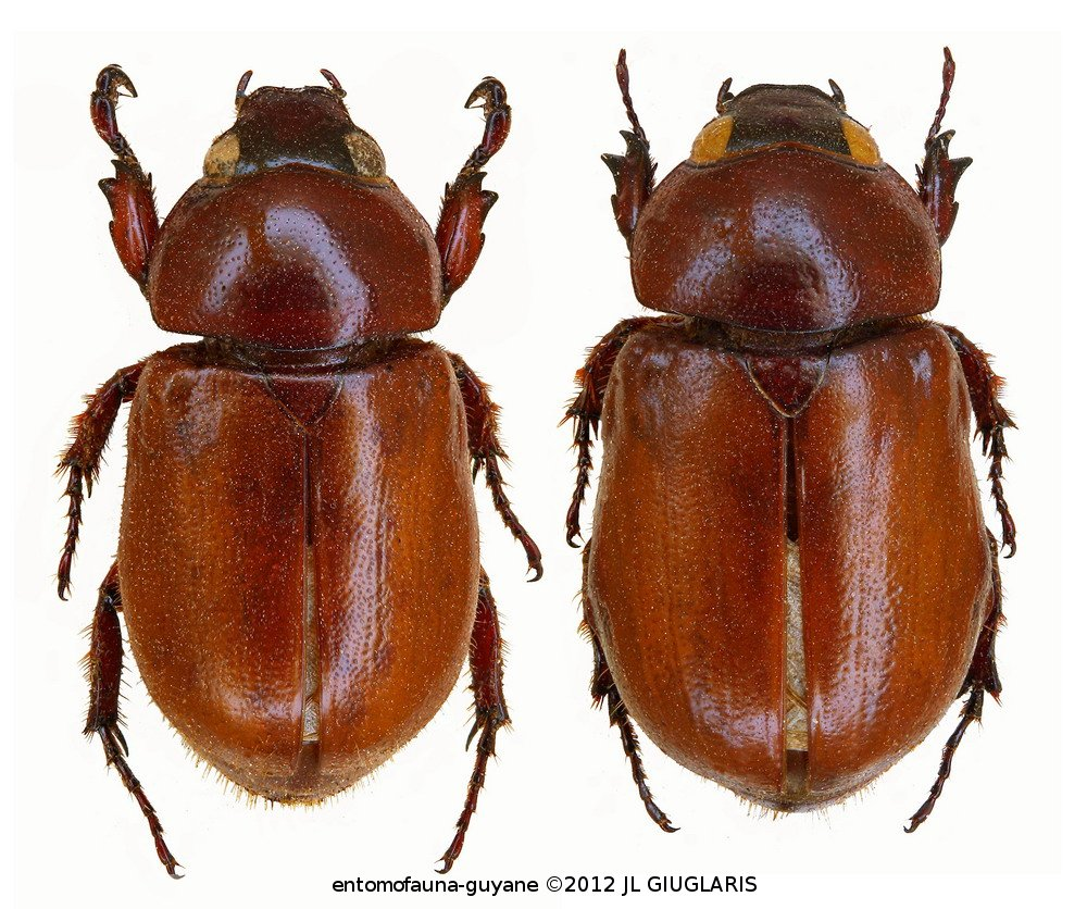 Cyclocephala simulatrix (couple)