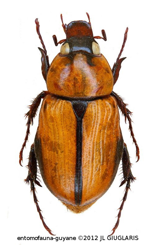 Cyclocephala unidentata (couple)