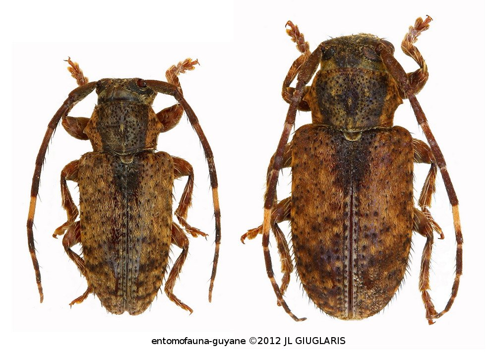 Cerambycidae sp G380 (pair)