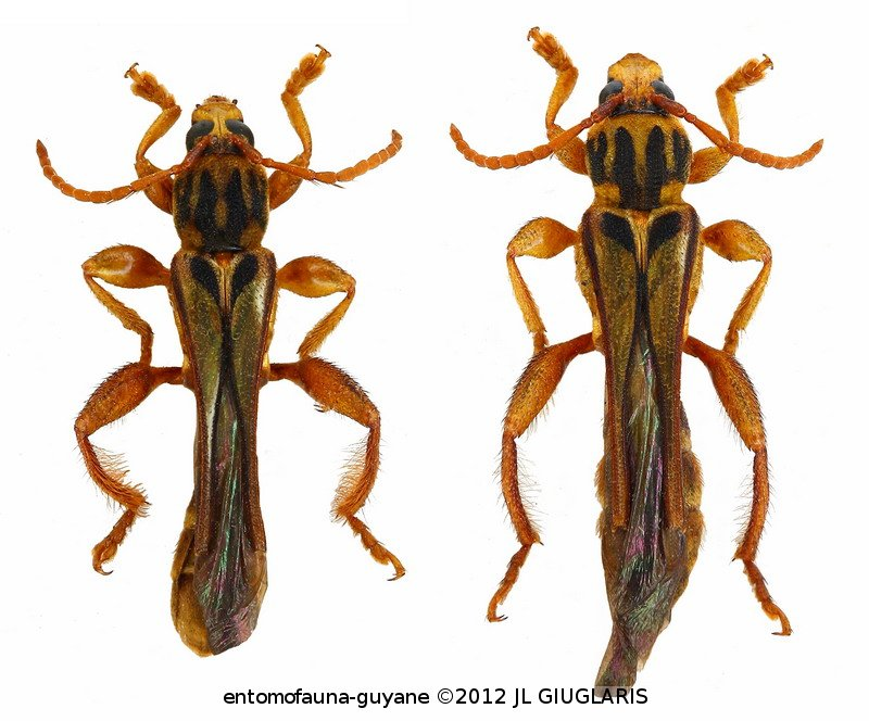 Odontocera furcifera (couple)
