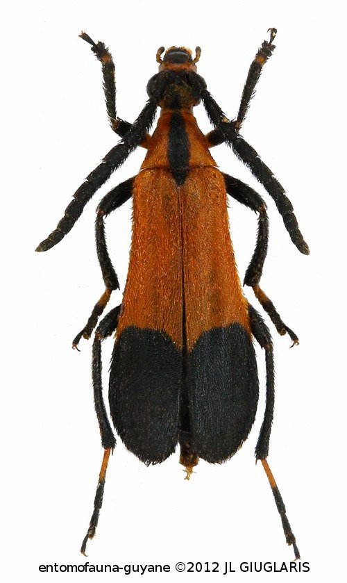 Lepturinae