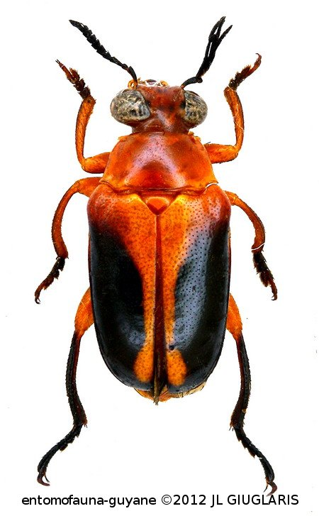 Chrysomelidae sp3