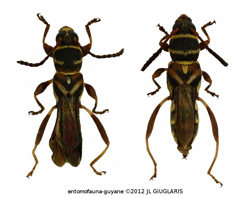 Tomopterus obliquus (couple)