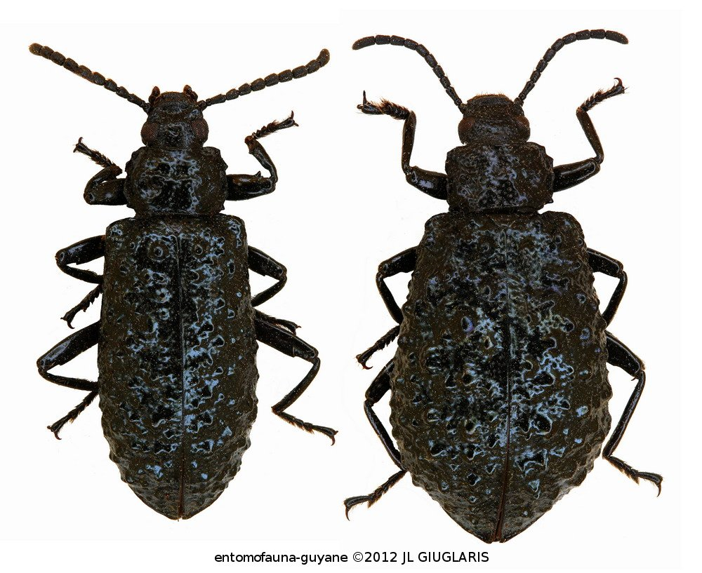 Phymatestes tuberculatus (couple)