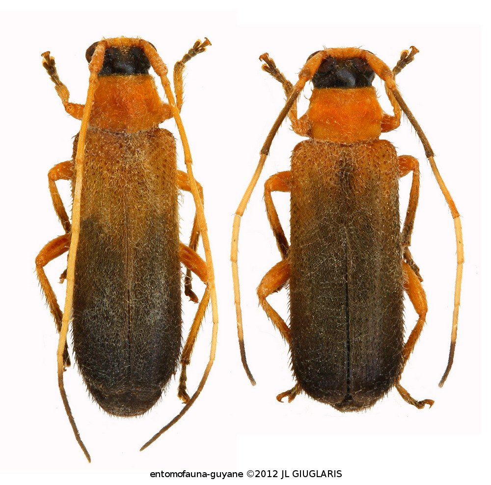 Pretilia tuberculata (couple)