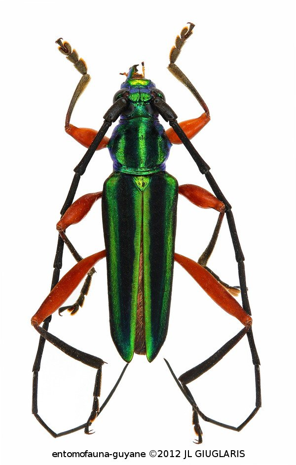 Mionochroma vittatum (couple)