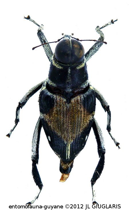 Macrocopturus rhombifer